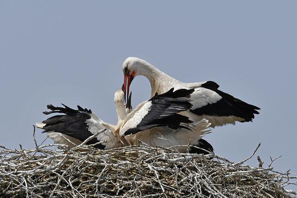 WeißstorWeißstorch mit Jungvögeln am Nestch mit Jungvögeln am Nest