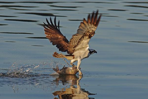 Fischadler beim Fischfang