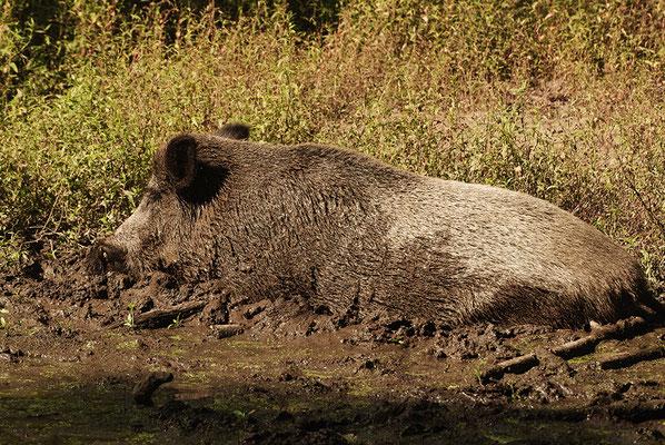 Wildschwein in Schlammsuhle