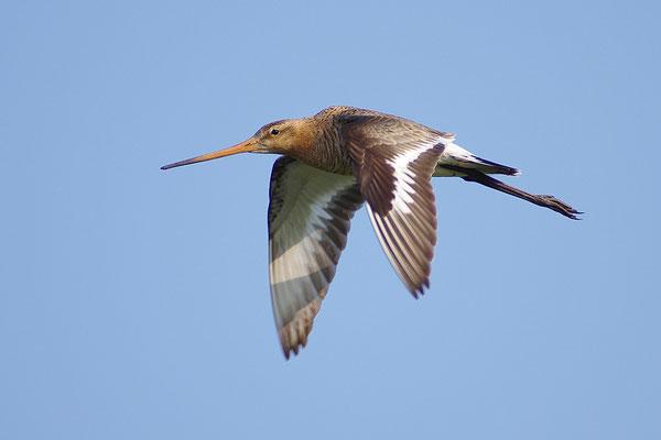 Uferschnepfe im Flug