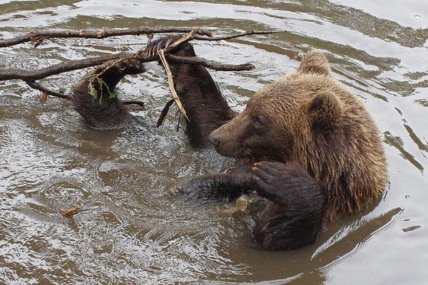 Braunbär im Wasser