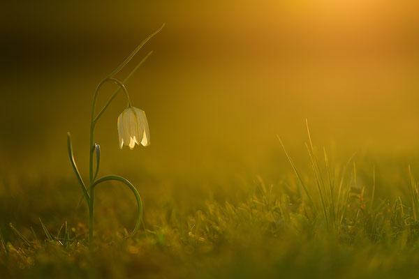 Schachbrettblume im Sonnenuntergang