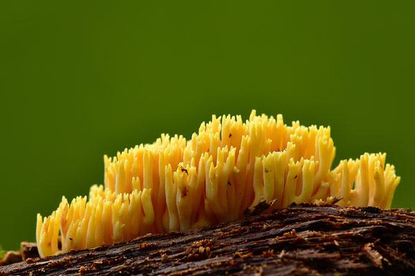 Korallenpilz