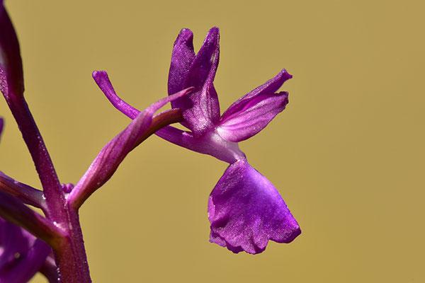 Lockerblütiges Knabenkraut Einzelblüte