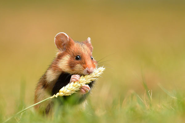 Feldhamster beim Fressen