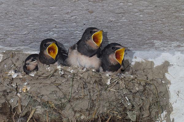 junge Rauchschwalben
