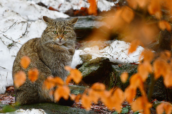 Wildkatze im Herbstlaub, Nationalpark Bayrischer Wald Tierfreigelände Neuschönau