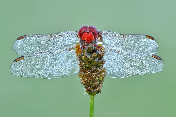 Feuerlibelle Männchen Frontalansicht