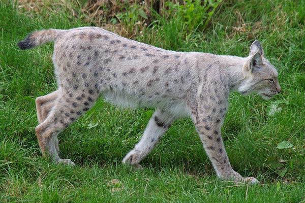 Luchs helle Form