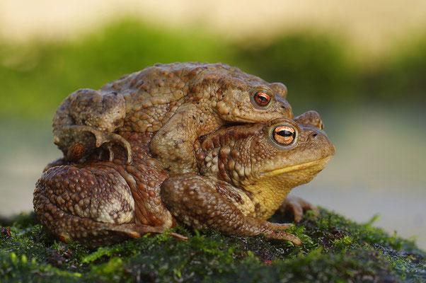 Erdkröte Paar