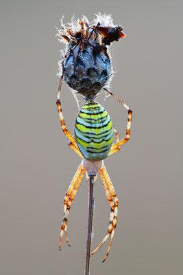 Wespenspinne im Gegenlicht