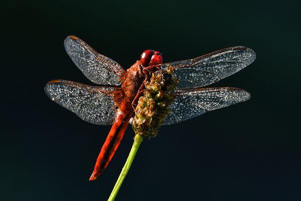 Feuerlibelle Männchen im Gegenlicht