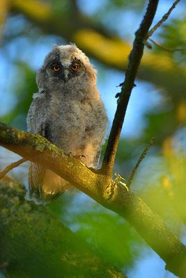 Waldohreule Ästling, Jungvogel