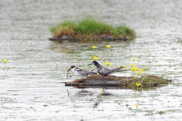 Trauerseeschwalbe am Nest mit Jungvögeln
