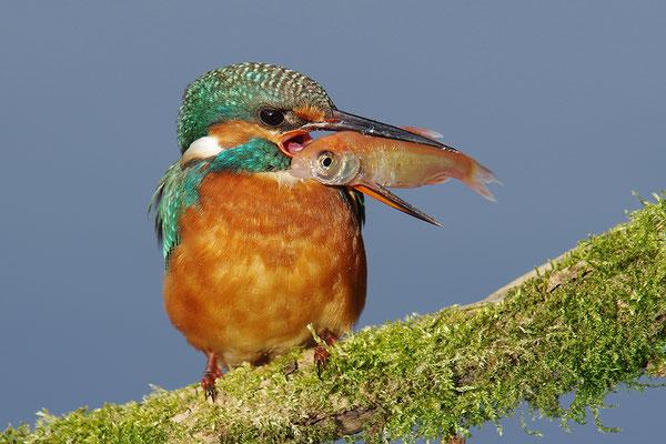Eisvogel Weibchen mit Fisch
