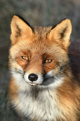 Fuchs Kopfportrait