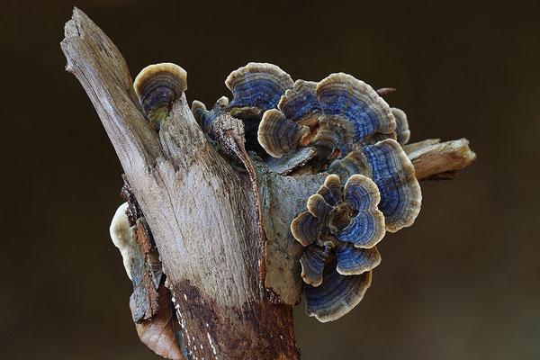 Schmetterlingstramete