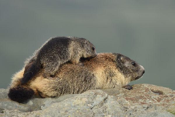 Murmeltier Jungtier kletter auf Weibchen