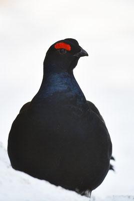 Birkhuhn Männchen Kopfportrait