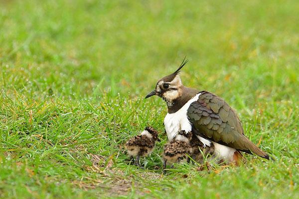 Kiebitz Weibchen mit Jungvögeln