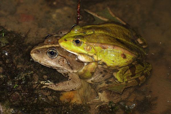 Seefrosch Paar
