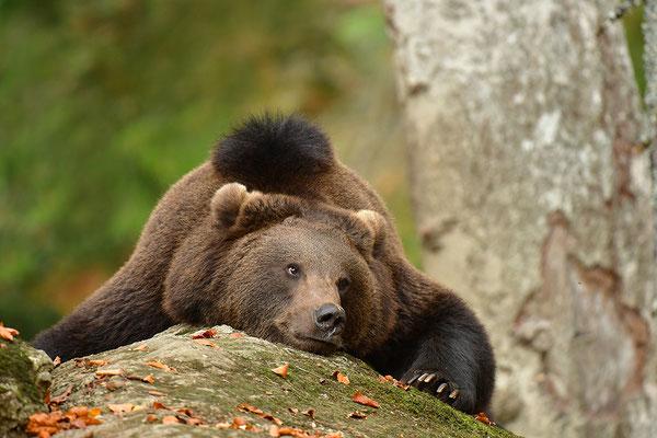 Braunbär ruhend, Nationalpark Bayrischer Wald Tierfreigelände Neuschönau