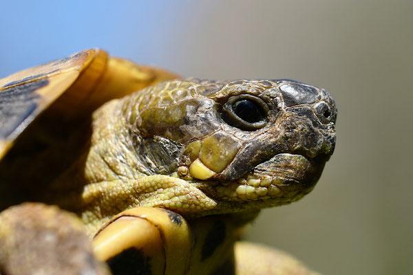 Maurische Landschildkröte Kopfportrait