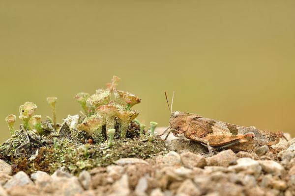 Bauflügel-Ödlandschrecke