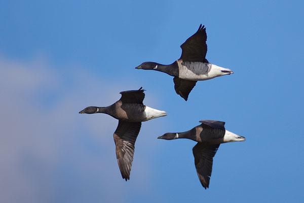 Ringelgans im Flug hellbäuchige und dunkelbäuchige Variante