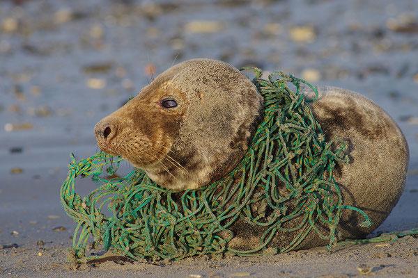 Kegelrobbe mit Fischernetz