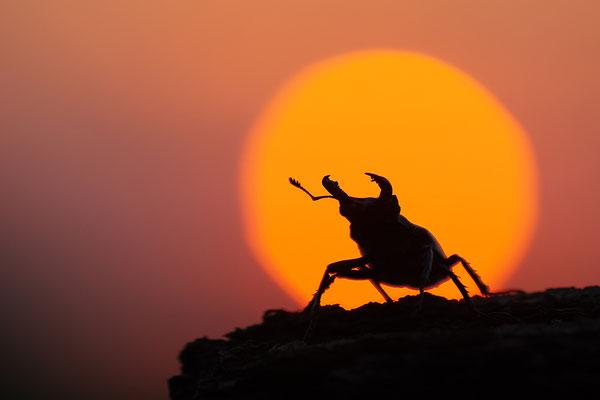 Hirschkäfer vor dem Sonnenuntergang