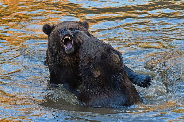 Braunbären im Wasser, Nationalpark Bayrischer Wald Tierfreigelände Neuschönau