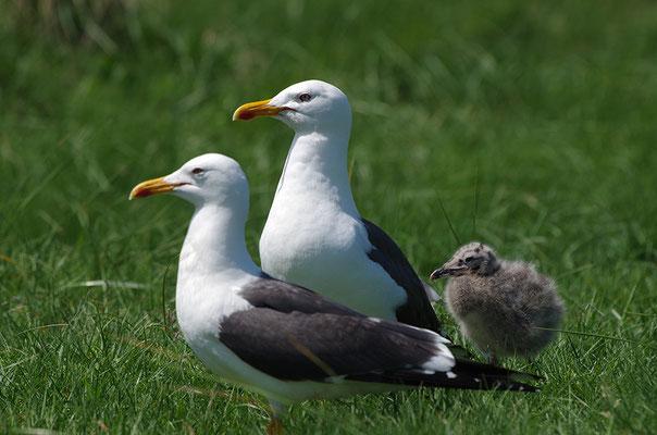Heringsmöwe Paar mit Jungvogel
