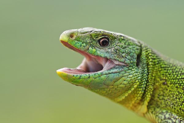 Smaragdeidechse Kopfportrait