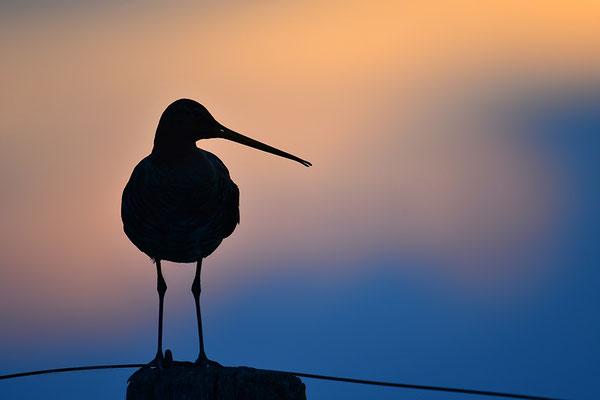 Uferschnepfe im Abendlicht