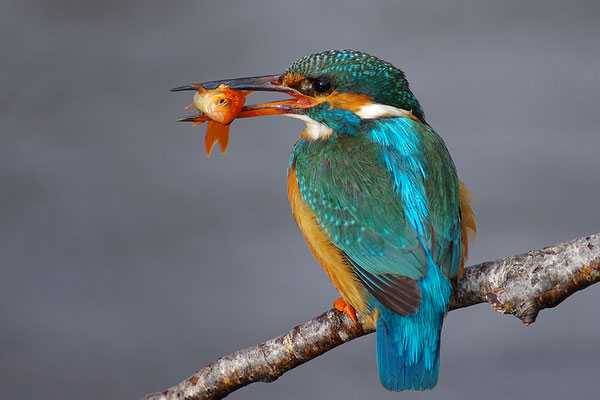 Eisvogel Weibchen mit Goldfisch