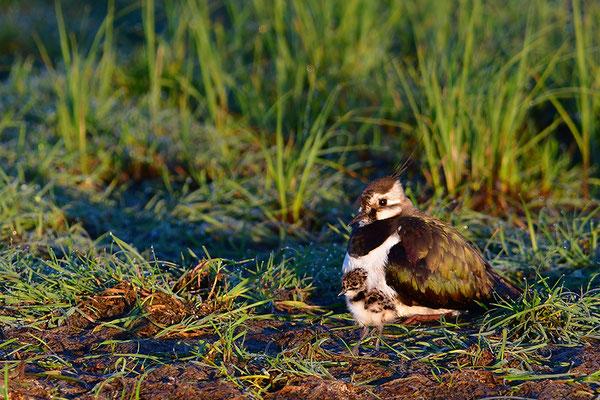 Kiebitz Weibchen mit Jungvogel hudernd