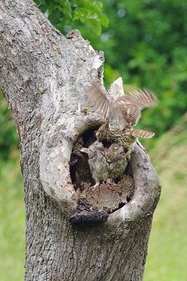 Steinkauz Altvogel beim Füttern