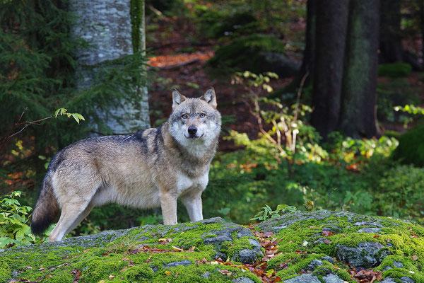 Wolf, Nationalpark Bayrischer Wald Tierfreigelände Neuschönau