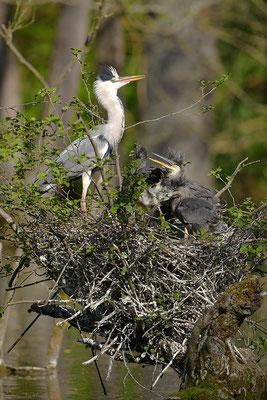 Graureiher am Nest mit Jungvögeln