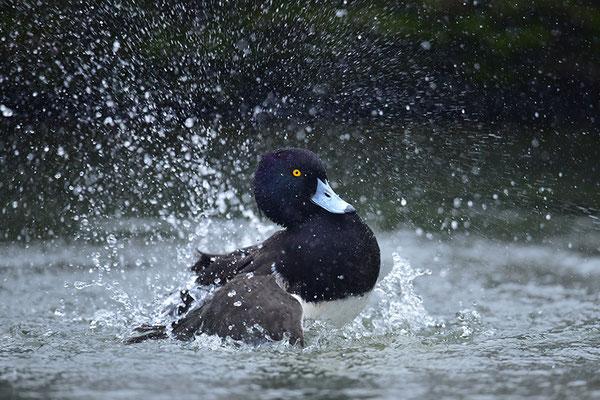 Reiherente Männchen badend