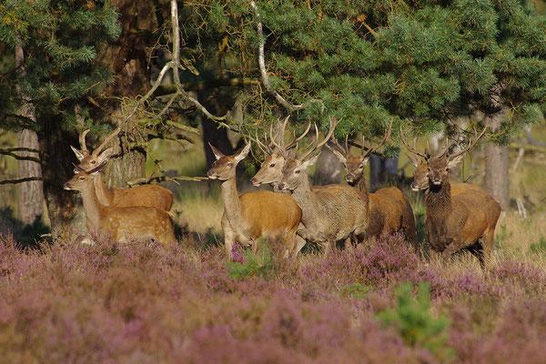Rothirsch Herde