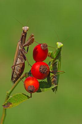 Gottesanbeterin Weibchen in brauner und grüner Form