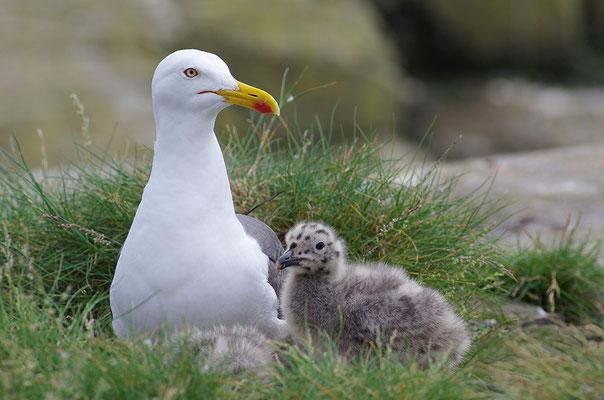 Silbermöwe mit Jungvogel