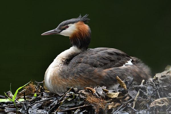 Haubentaucher mit Jungvögeln am Nest