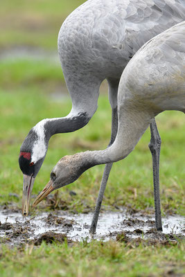 Kranich Alttier mit Jungvogel