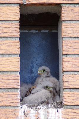 Turmfalke Jungvögel