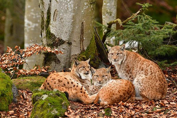 Luchse Familie Nationalpark Bayrischer Wald Tierfreigelände Neuschönau