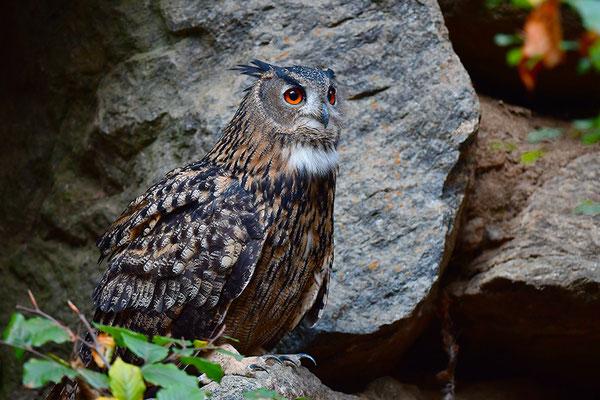 Uhu Balz, Nationalpark Bayrischer Wald Tierfreigelände Neuschönau