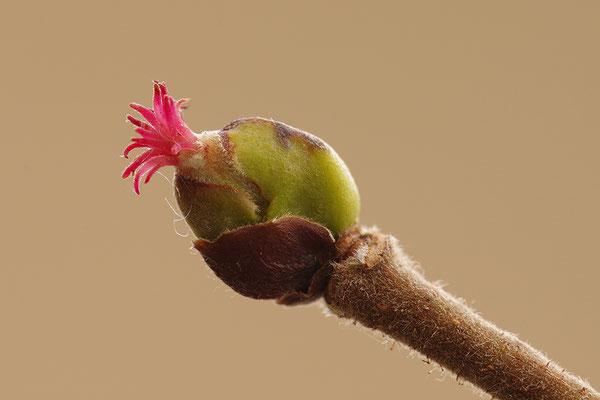 Haselnuss Blüte